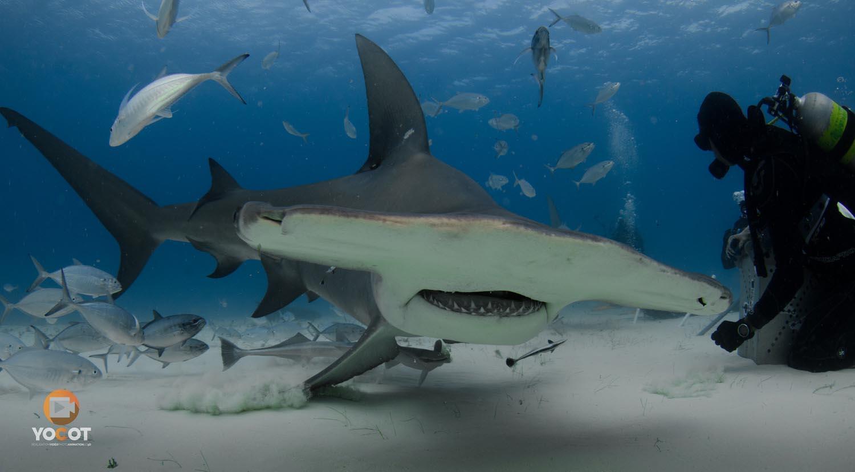 [TOURISME] Vidéo sous marine : Bahamas shark from Bimini to Freeport